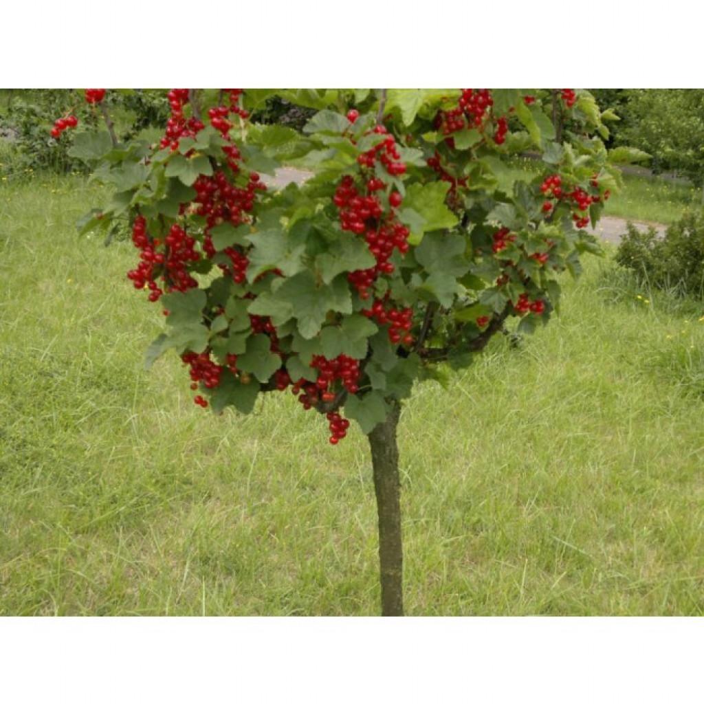 Как превратить куст смородины в дерево? В саду (Огород. ru) 63
