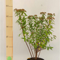 Спирея японская Anthony Waterer (Spiraea japonica Anthony Waterer)