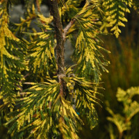 Туя складчатая Irish Gold (Thuja plicata Irish Gold)