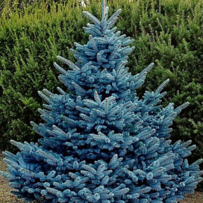 Ель колючая Blue Mountain (Picea pungens Blue Mountain)