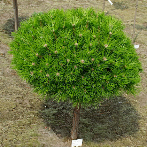 Сосна густоцветковая Low Glow (Pinus densiflora Low Glow)