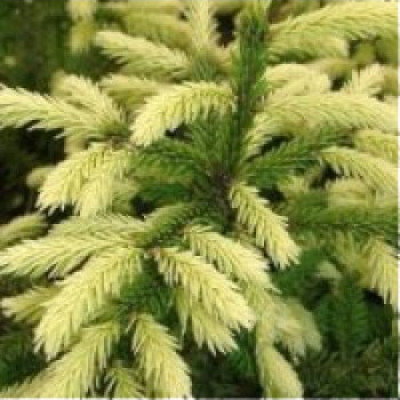 Ель восточная Golden Star (Picea orientalis Golden Star)