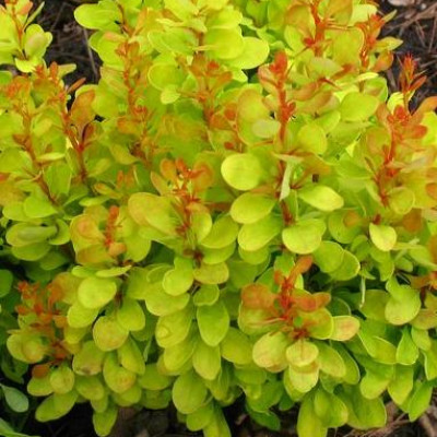 Барбарис Тунберга  Golden Dream (Berberis thunbergii Golden Dream)