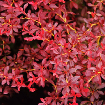 Барбарис Тунберга Red Dream (Berberis thunbergii Red Dream)