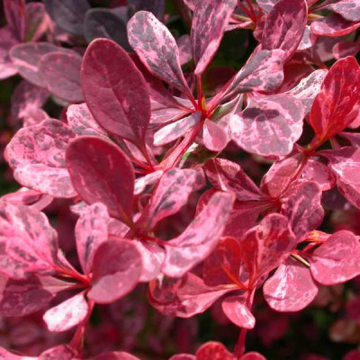 Барбарис Тунберга Rose Glow (Berberis thunbergii Rose Glow)