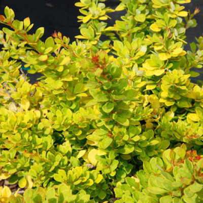 Барбарис Тунберга Sensation  NEW (Berberis thunbergii Sensation  NEW)